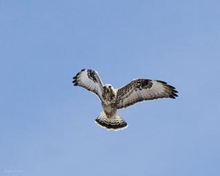 Rough-legged_Hawk-03