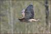 Bittern (image 2 of 2) (Full Moon Images) Tags: rspb lakenheath fen wildlife nature reserve bird flight flying bittern