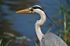 Thanks for the pose, ol' boy (dlanor smada) Tags: grandunion canals aylesburyarm bucks buckinghamshire herons birds beaks