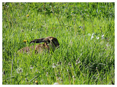 Lepus europaeus (Vulpe Photographie) Tags: animal lièvre champ vert green field hare wildlife france normandie naturelovers