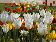 White Tulips (1elf12) Tags: tulips tulpen flower blossom blume burg blüte magdeburg germany deutschland
