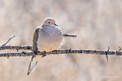 Mourning Morning (martinaschneider) Tags: riversidepark cambridge bird dove mourningdove