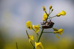 Un hanneton acrobate (Croc'odile67) Tags: nikon d3300 sigma contemporary 18200dcoshsmc nature insecte hanneton colza fleurs flowers