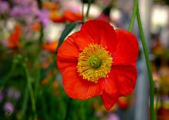 Pavot/poppy (bd168) Tags: poppy pavot closeup grosplan couleurs bokeh xf50mmf2rwr xt10 garden flowers