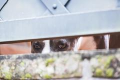 Who is spying? (Pablin79) Tags: dog pet animal wall colors eyes light closeup minga pitbull bully spying funny brick grey green dof posadas misiones argentina