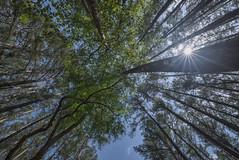 Trees (Vincent1825) Tags: pentax landscape pixelshift dfa1530mm sunburst
