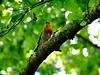 Robin (Ovidiu S.) Tags: robin bro brown tree nature sony green hx300v dschx300