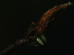 Gonepteryx rhamni (ova) - Common brimstone (eggs) - Лимонница (яйца) (Cossus) Tags: coliadinae gonepteryx pieridae белянка пестово 2018 egg яйцо