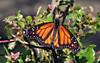 King of May (TJ Gehling) Tags: insect lepidoptera butterfly nymphalidae monarch monarchbutterfly danaus danausplexippus plant tree fagales fagaceae oak liveoak coastliveoak quercus quercusagrifolia hillsidenaturalarea elcerrito