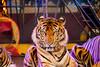 Sriracha_KMITL_day2_26 (plynoi) Tags: chonburi srirachatigerzoo zoo tiger traveldestination travel animal