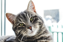 The cat sits on the window. The cat turned with astonished eyes (ivan_volchek) Tags: cat animal pet kitten feline cute fur eyes domestic kitty portrait eye tabby pets mammal animals face closeup white whisker green grey whiskers gray look ilovemycat young downy adorable furry little head curiosity