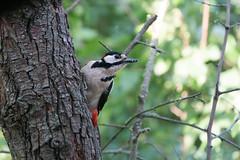 DSC06881 Grote Bonte Specht, Great Spotted Woodpecker, Dendrocopos major. (jwsteffelaar) Tags: dendrocoposmajor greatspottedwoodpecker taxonomy:binomial=dendrocoposmajor grotebontespecht