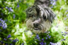 18/52 - Bluebells (Kirstyxo) Tags: teddy cute dog bluebells woods 1852 52weeksfordogs 52weeksfordogs18 52weeksfordogs2018