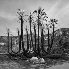 burnt palms. faria beach, ca. 2017. (eyetwist) Tags: eyetwistkevinballuff eyetwist film analog bw palmtrees burned burnt thomasfire fariabeach ventura california mamiya 6mf ishootfilm mamiya6mf mamiya75mmf35l 75mm ilfordfp4 ilford fp4 dr5com reversal transparency chrome blackwhite black white monochrome analogue mamiya6 square 6x6 120 filmexif iconla epsonv750pro lenstagger mediumformat tiffen yellow12 filter landscape foliage leaves branches scarred scorched palm trees tree grove pacificocean wildfire inferno blackened us101 solmarbeach fronds fire dr5