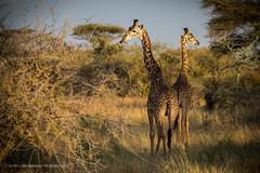 Serengeti, Tanzania, June 2017 (Catherine Gidzinska and Simon Gidzinski) Tags: 2017 africa mararegion tanzania giraffe ngc