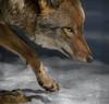 A wary coyote (walts photos) Tags: adirondackwildliferefuge wilmington newyork unitedstates us coyote