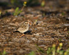 Clay-colored Sparrow (Shayna Marchese) Tags: claycoloredsparrow jerseycity