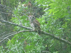 Barred Owl, Heard Natural Science Center, May 19, 2018 (gurdonark) Tags: bird birds owl barred wildlife heard natural science center texas fairview