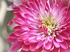 Mumsational (Through Serena's Lens) Tags: 7dwf closeup plant petals blooming bloom flower flora chrysanthemum mumsational pink colorful