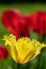 Yellow Tulip (evisdotter) Tags: yellowtulip tulpan flower blomma macro bokeh light colors sooc
