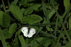 Liblikas rohul (Jaan Keinaste) Tags: olympussh1 eesti estonia elusloodus fauna liblikas buterfly