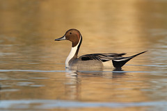 Northern Pintail (Zach Haring) Tags: