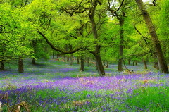 Kinclaven Woods (Bluebells) (eric robb niven) Tags: ericrobbniven scotland bluebells wildflower nature woodland oak trees springwatch