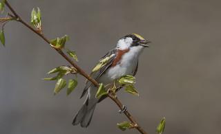 Paruline à Flancs Marron  -  Chestnut-side Warbler