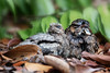 Large-tailed Nightjar @ SBG (C.K.X) Tags: all rights reserved