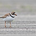 Semipalmated Plover (raven_lunatic11) Tags: