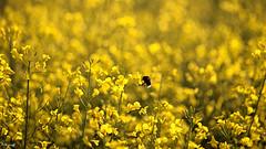 'avoir les yeux plus gros que le ventre....Tout un champ ! Elle abuse....,-1 (FLOCVROFF) Tags: 250mm canon colza spring marne chivaroff nature bee abeille bourdon butineur yellow jaune gelb bokeh hbw