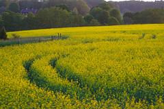 Going for summer (RdeUppsala) Tags: rape colza yellow atardecer amarillo gul landscape landskap paisaje primavera försommar vår spring sverige suecia sweden sunset uppland countryside landet spår huellas tracks naturaleza nature natur ricardofeinstein