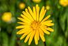 Wiesen-Bocksbart (stefangruber82) Tags: alpen alps bavaria bayern tragopogonpratensis wiesenblume blumen frühling spring yellow gelb