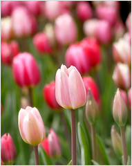 (melolou) Tags: spring tulips pink