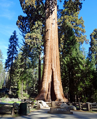 Sentinal Sequoia, Sequoia NP 5-19 (inkknife_2000 (9 million views)) Tags: sequoianationalpark giantsequoia bigtrees forest skyandclouds youngtrees dgrahamphoto california americasnationalparks redbark bigtreetrail roundmeadow naturaltunnel amazingtrees beautyofamerica peace beauty sentineltree