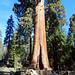 Sentinal Sequoia, Sequoia NP 5-19