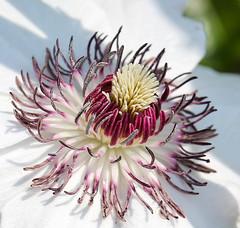 Klematis (LuckyMeyer) Tags: flower fleur makro white lila garden spring sun light