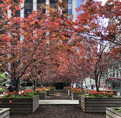 Japanese Maples (Melinda Stuart) Tags: maple japanese raisedbeds chips urban sanfrancisco pocketgarden city downtown boxes amenity tmt