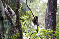 IMG_0632 (Wild Sara) Tags: rainforest monkey scimmia macaco crazy ape nature landscape borneo malaysia malesia asia foresta wildlife