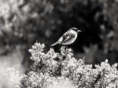 Bird in black & white (paule_78) Tags: bird blackwhite newforest bush wildlife