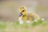 Hello beautiful D85_3145.jpg (Mobile Lynn) Tags: gosling birds nature geese anseriformes bird fauna goose wildlife estuaries freshwater lagoons lakes marshes ponds waterfowl webbedfeet hurst england unitedkingdom gb coth specanimal coth5