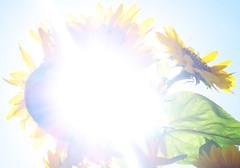 Tournesols en extase! (woolgarphilippe) Tags: tournesol sunflower fleur flora flower soleil sun sol lumière light luz éblouissement éboulit dazzle dazzling joy joyful joyeux heureux bonheur joie felicidad été verano summer nature abstrait abstract