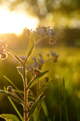 Blue & Gold (flashfix) Tags: may182018 2018inphotos ottawa ontario canada nikond7100 40mm nikon flashfix flashfixphotography macro 2minutemacro plant sunlight sunset dusk goldenhour nature mothernature bokeh flower