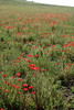 IMG_3001 (davehash6) Tags: poppyfield poppies poppy