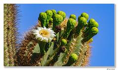 Saguaro Cacti In Bloom (Ken Mickel) Tags: arizona beautiful cacti cactus estrellla flower flowers goodyeararizona kenmickelphotography outdoors plants saguaro saguarobloom blossom blossoms nature photography goodyear unitedstates us