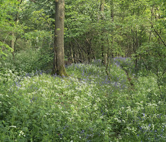 Woodland in Spring (Michael Paynton) Tags: bluebells spring wood woodland cowparsley hertfordshire