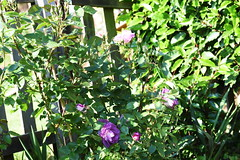 DSC_0013 (PeaTJay) Tags: nikond750 sigma reading lowerearley berkshire macro micro closeups gardens outdoors nature flora fauna plants flowers rose roses rosebuds