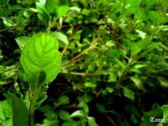 Tulsi (Tanujtky) Tags: holybasil tulasi tulsi ocimumtenuiflorum nature plants plant