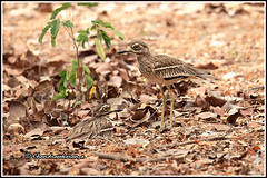 7893 - Indian stone-curlew or Indian thick-knee (chandrasekaran a 49 lakhs views Thanks to all.) Tags: indianstonecurlew thickknee birds nature india chennai canoneos6dmarkii tamronsp150600mmg2