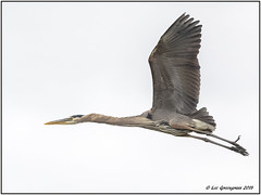 Great Blue Heron (pandatub) Tags: ebparks ebparksok bird birds heron greatblueheron shadowcliffs